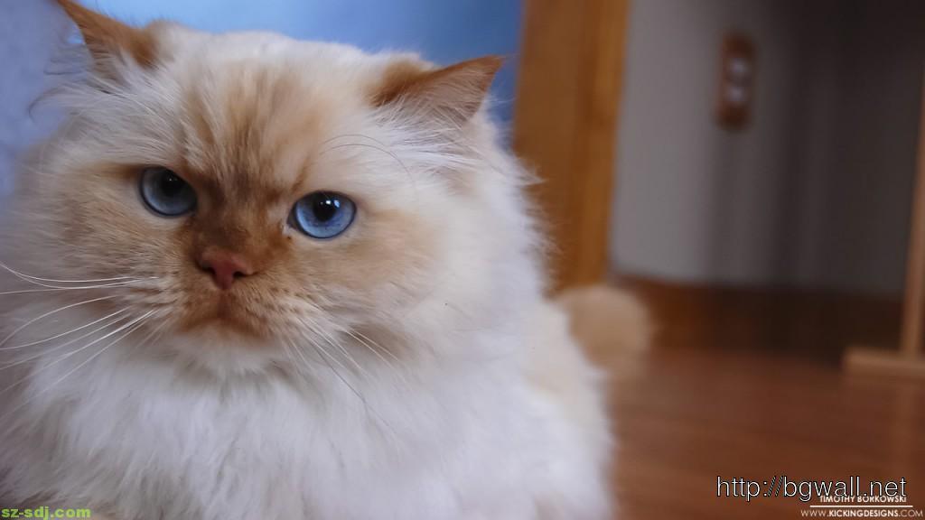 blue-eye-himalayan-cat-wallpaper
