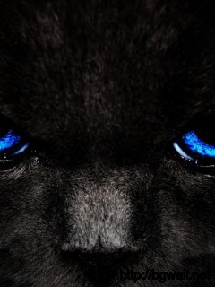 blue-eyes-cat-wallpaper-high-definition