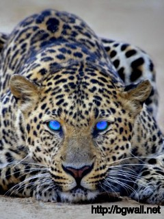 blue-eyes-cheetah-animal-wallpaper