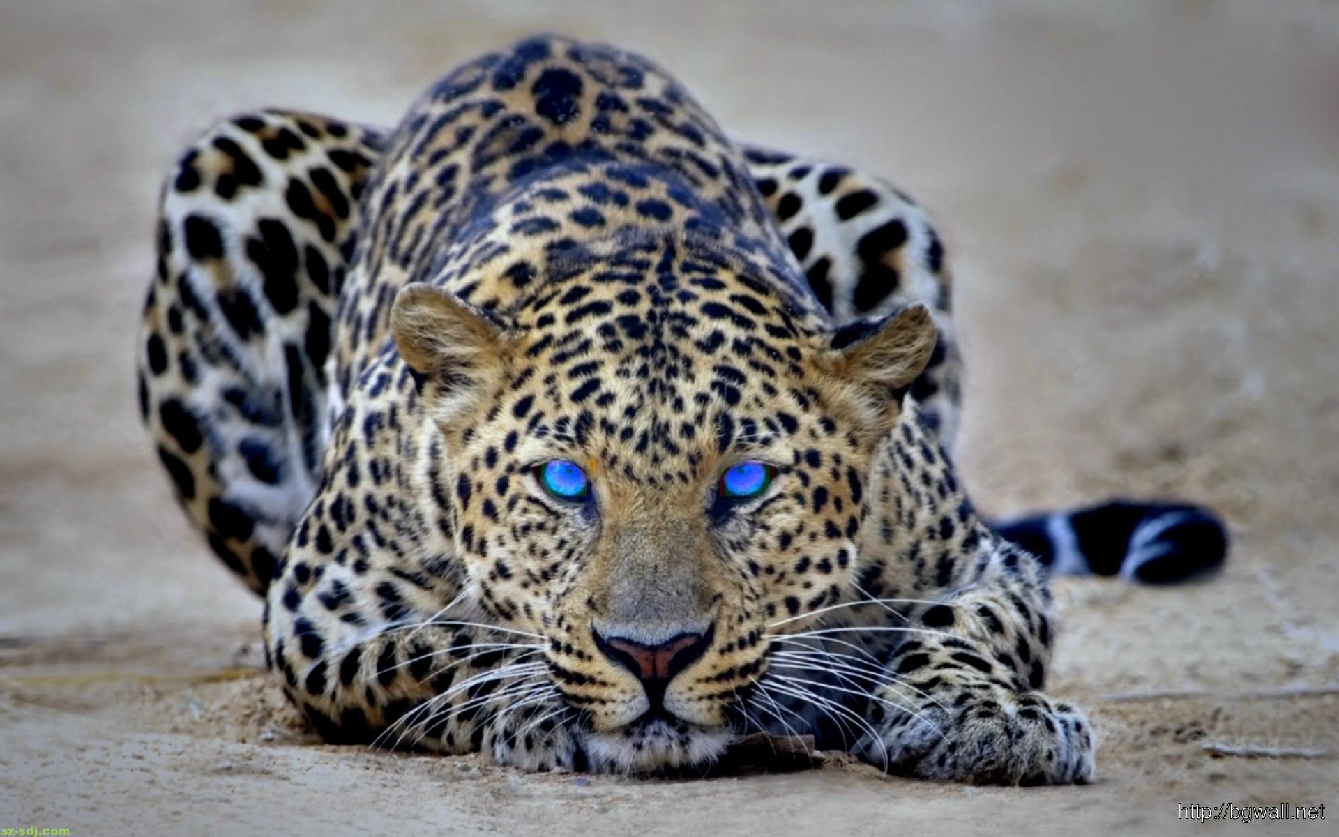 blue eyes cheetah animal wallpaper background wallpaper hd