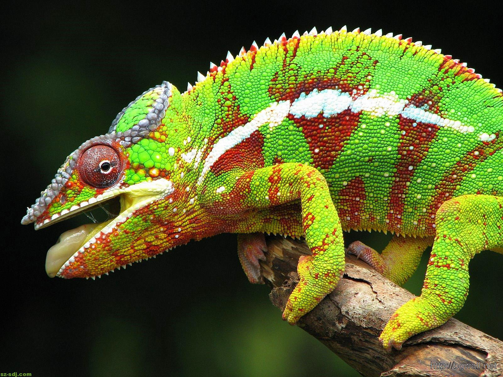 cameleon-animal-wallpaper-image