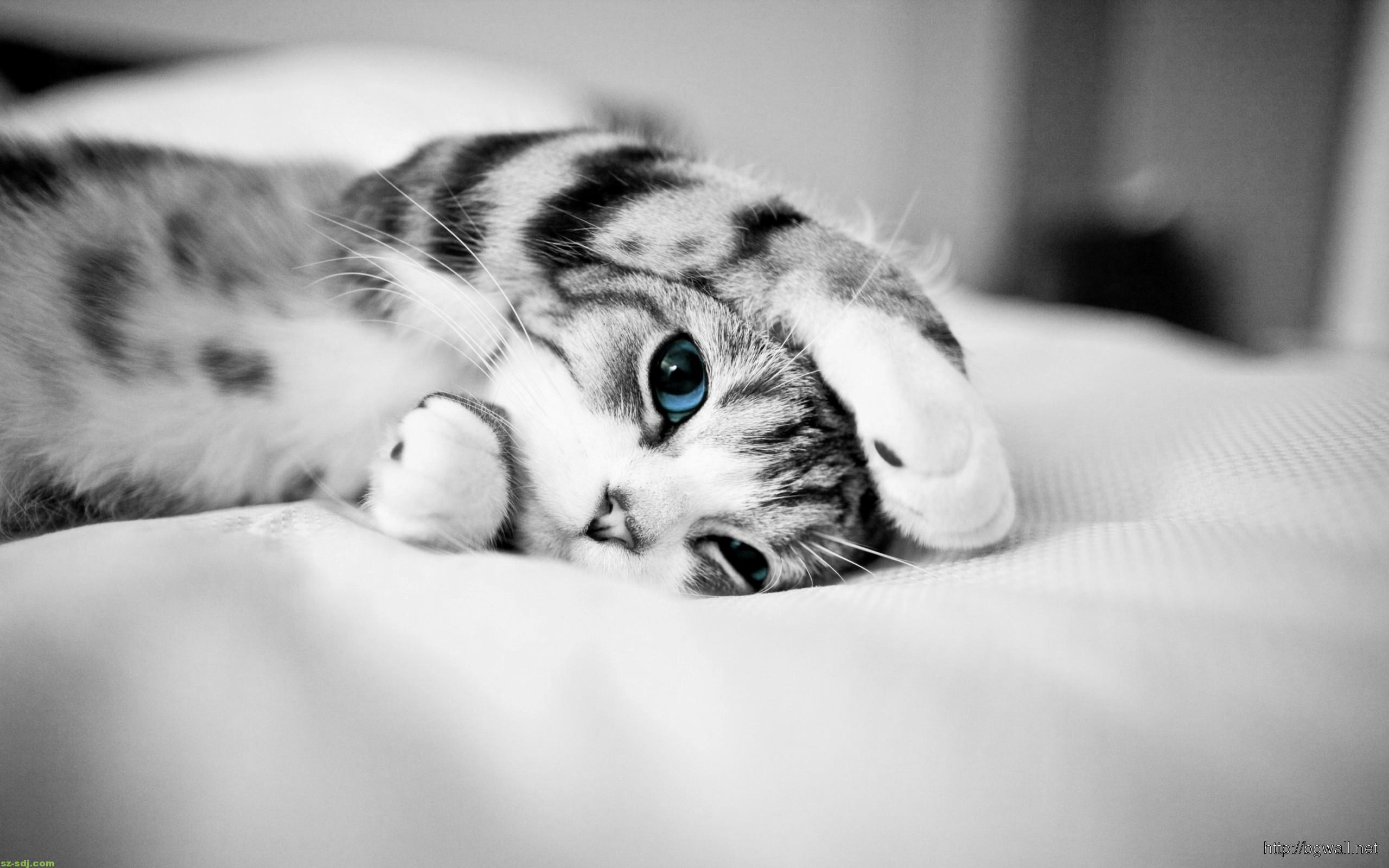 Cat Blue Eyes Cute Animal Wallpaper Hd – Background