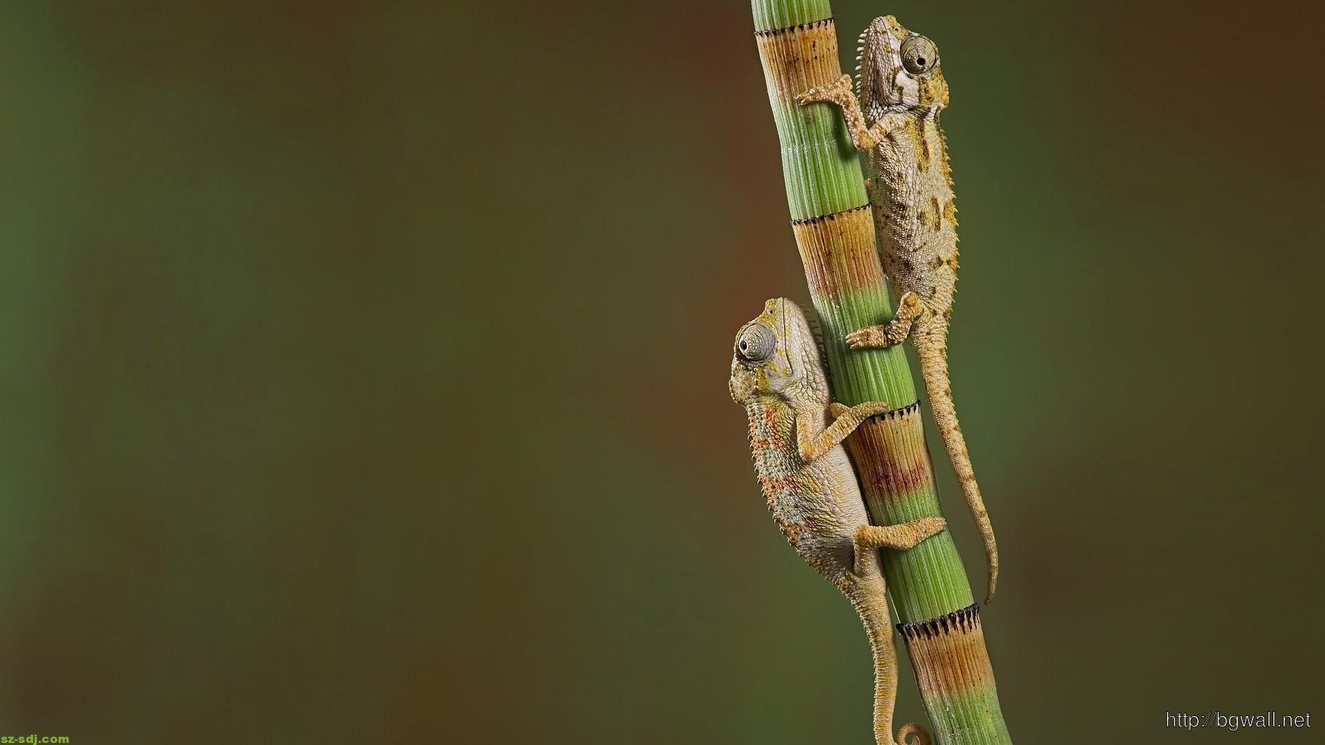 chameleons-nature-wallpaper-high-definition