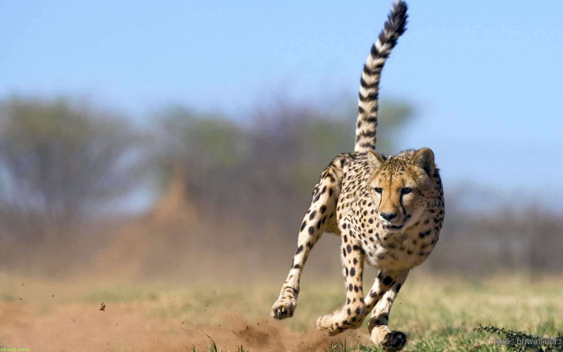 cheetah-amazing-run-wallpaper-desktop