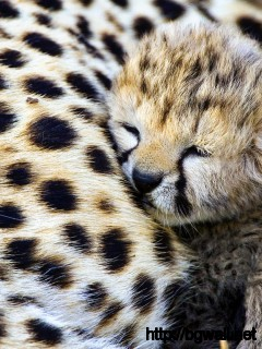 cheetah-baby-cute-animals-wallpaper-widescreen