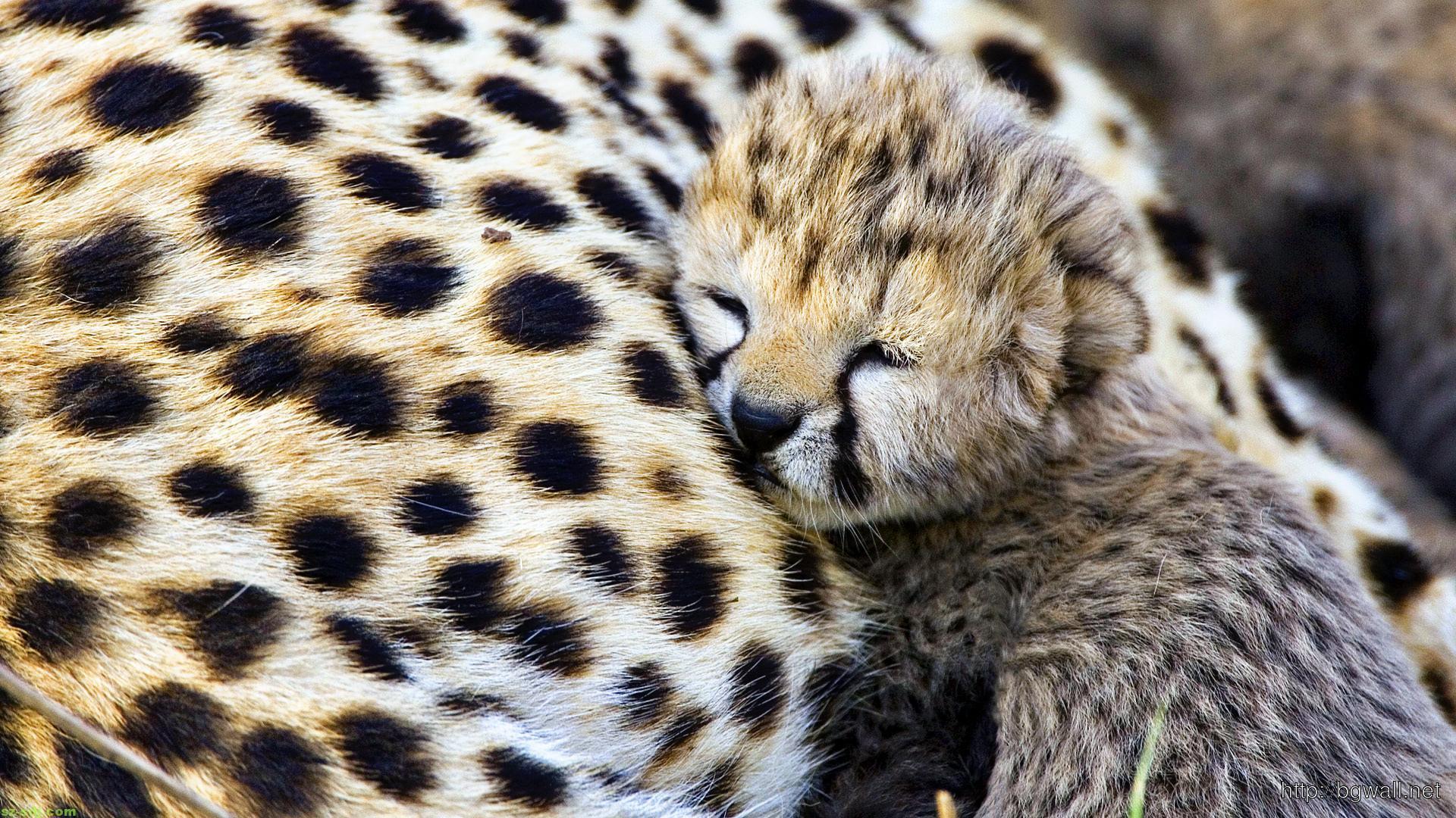 cheetah-baby-cute-animals-wallpaper-widescreen