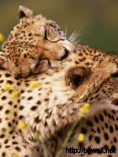 cheetah-couple-wallpaper-widescreen