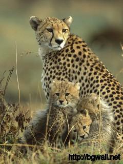 cheetah-family-wallpaper-high-resolution