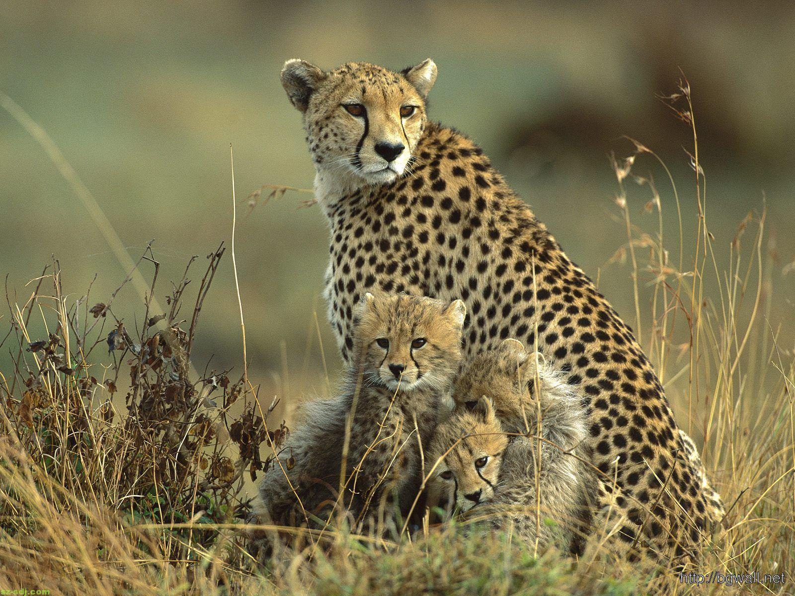 cheetah-family-wallpaper-high-resolution