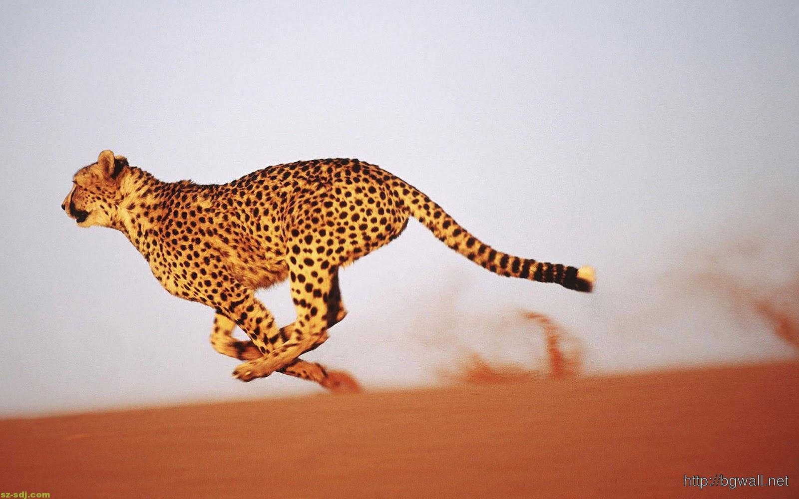 Cheetah Running On The Desert Wallpaper Background