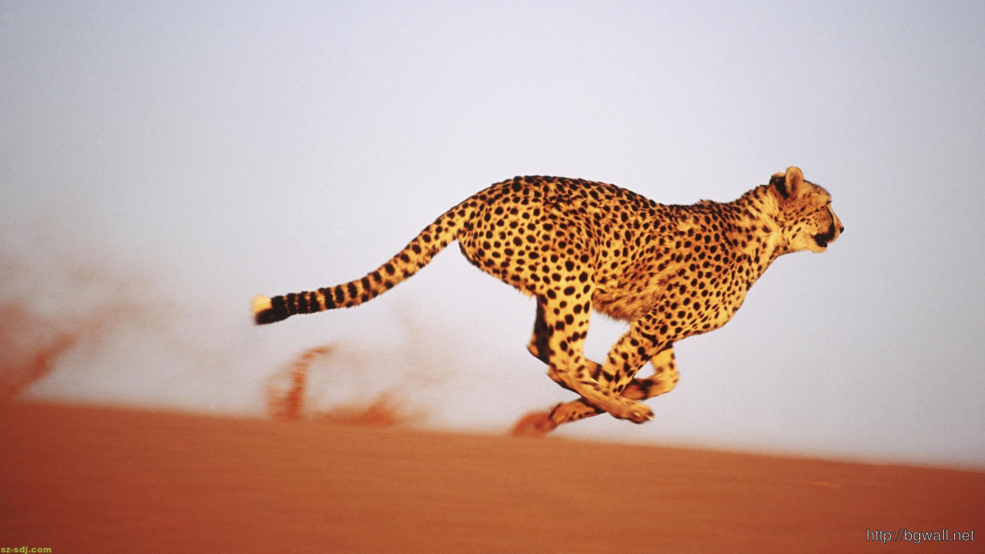 Cheetah Running Speed Wallpaper Background Wallpaper HD