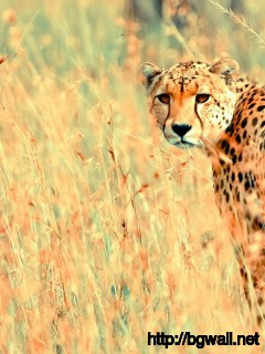 cheetah-tumblr-wallpaper