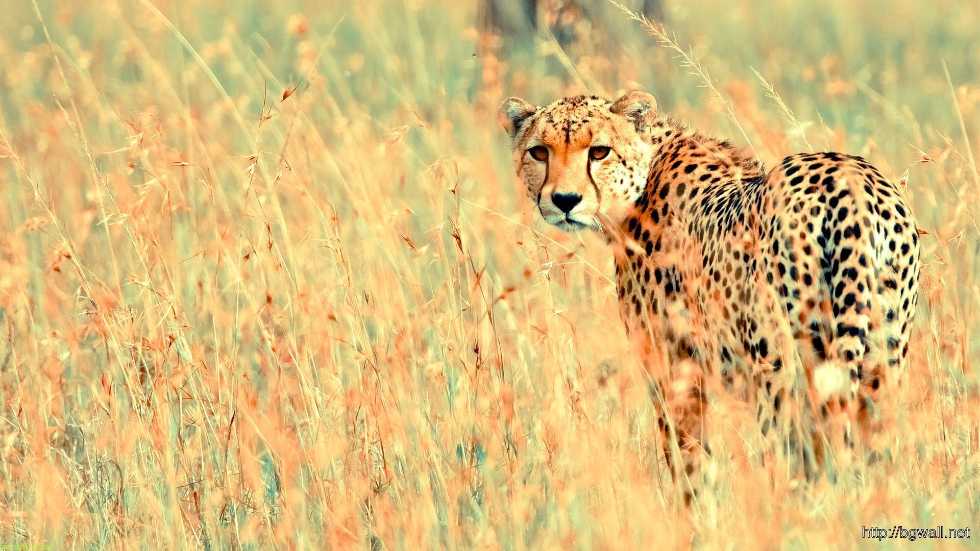 cheetah-tumblr-wallpaper