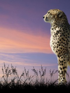cheetah-wallpaper-high-definition