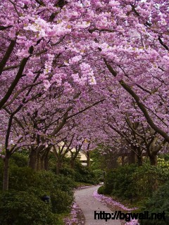 cherry-blossom-wallpaper-widescreen