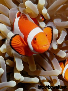 clown-fish-nemo-desktop-wallpaper