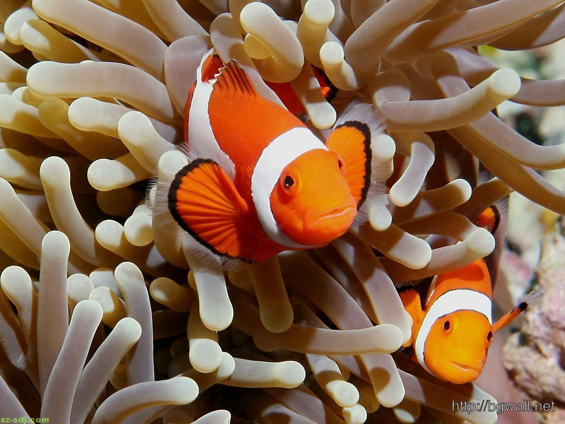clown-fish-nemo-desktop-wallpaper