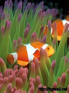 clown-fish-underwater-wallpaper
