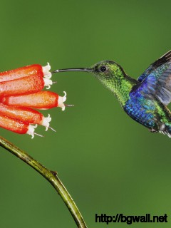 colibri-bird-desktop-wallpaper