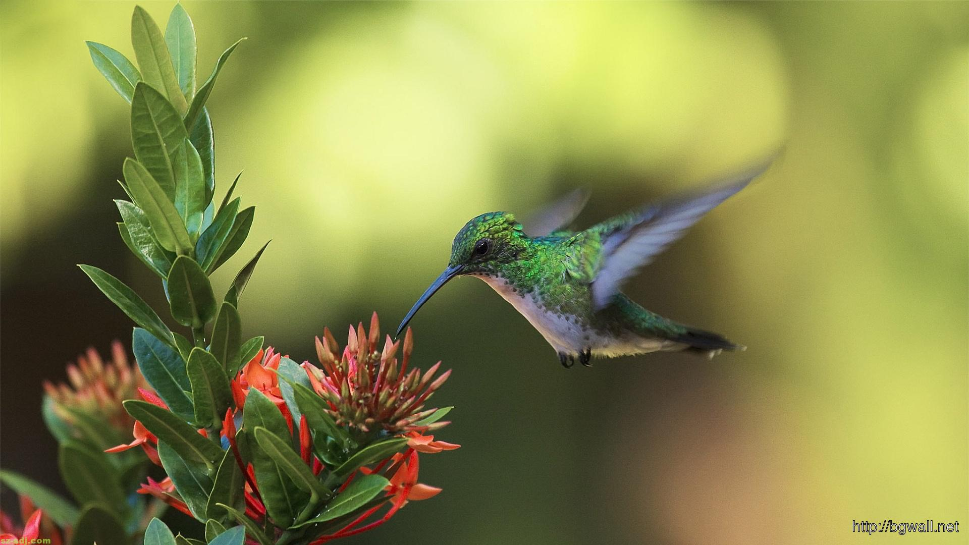 colibri-drink-nectar-wallpaper