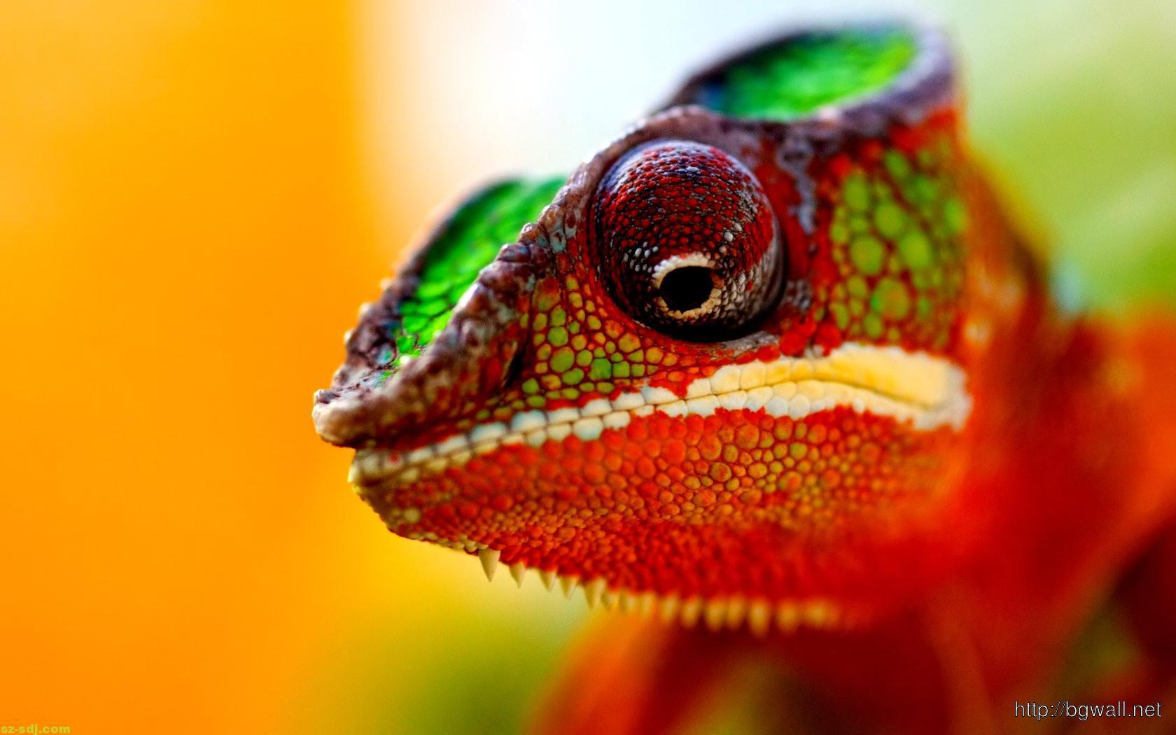 colorful-chameleon-macro-wallpaper-for-desktop
