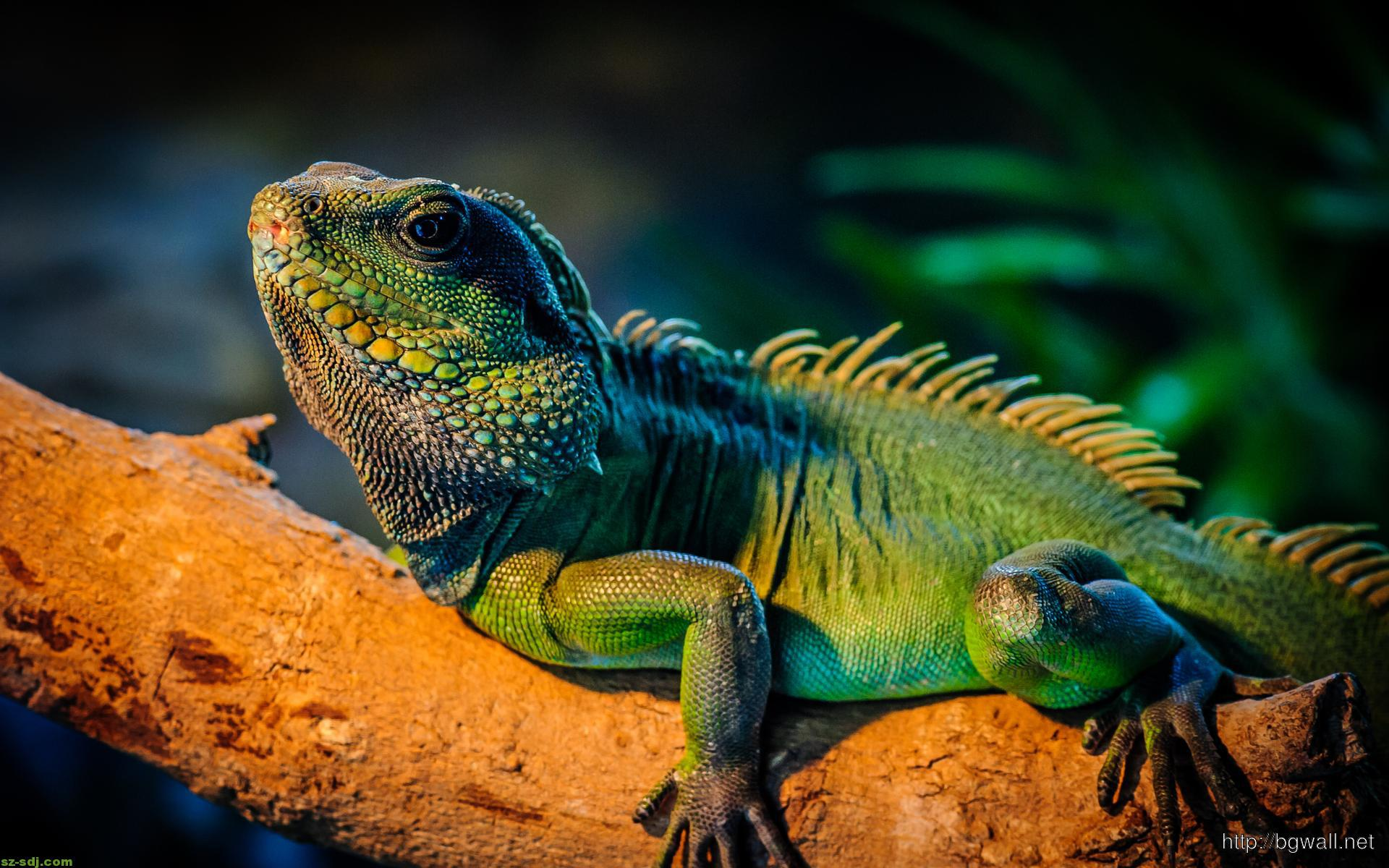 Cool Iguana Lizard Wallpaper High Definition Background Wallpaper Hd