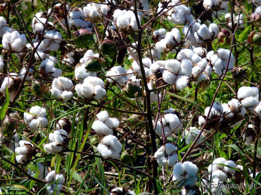 cotton-grass-wallpaper-desktop-computer