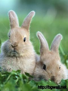 couple-bunnies-wallpaper-for-desktop