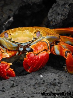 crab-and-rock-wallpaper-image-hd