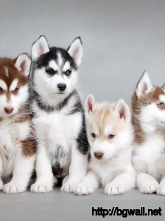 cute-baby-animals-siberian-husky-wallpaper-hd