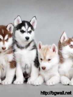 cute-baby-animals-siberian-husky-wallpaper-hd