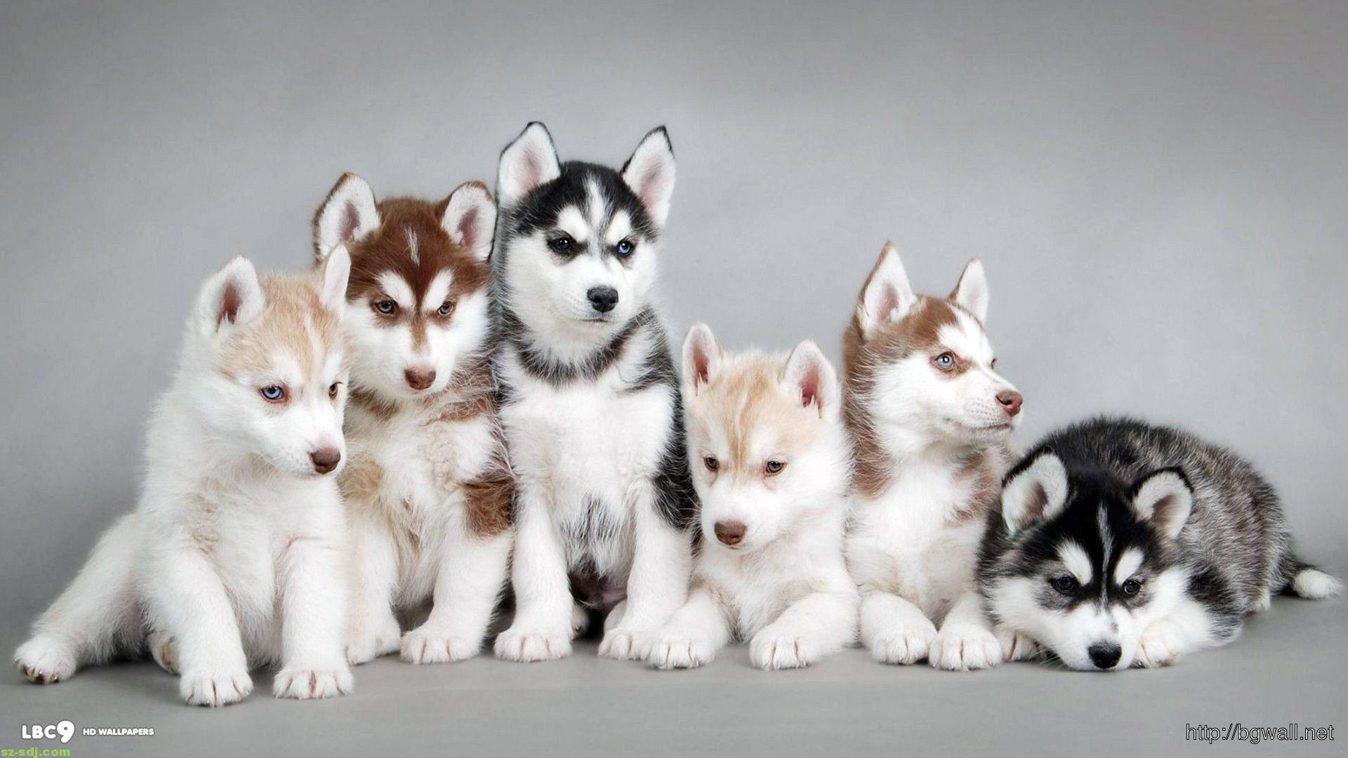 Cute baby animals siberian husky wallpaper hd background - Cute baby animal desktop backgrounds ...