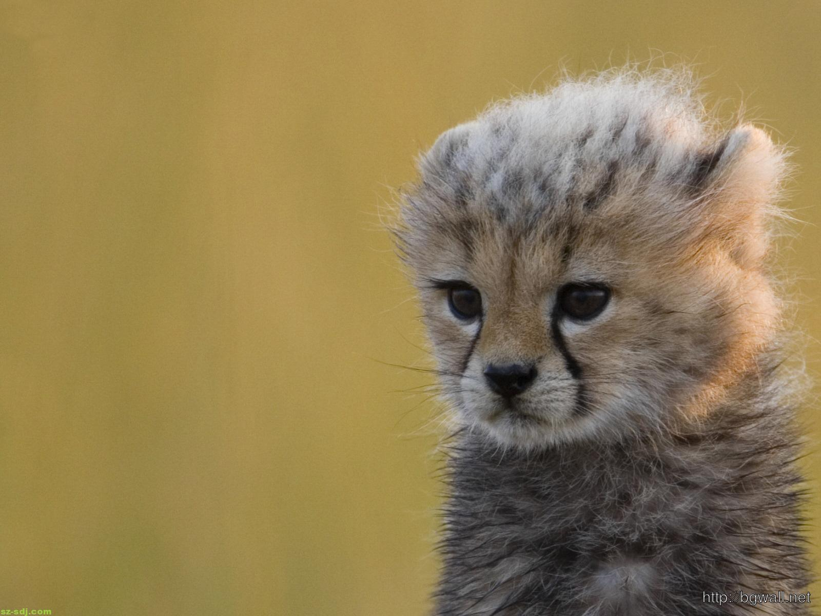 Cute Baby Cheetah Wallpaper – Background Wallpaper HD | 1600 x 1200 jpeg 161kB
