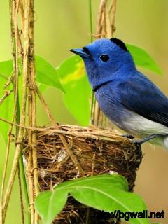 cute-blue-bird-wallpaper-hd