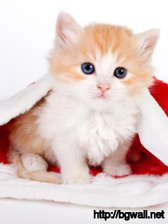 cute-cat-with-santa-hat-wallpaper-widescreen
