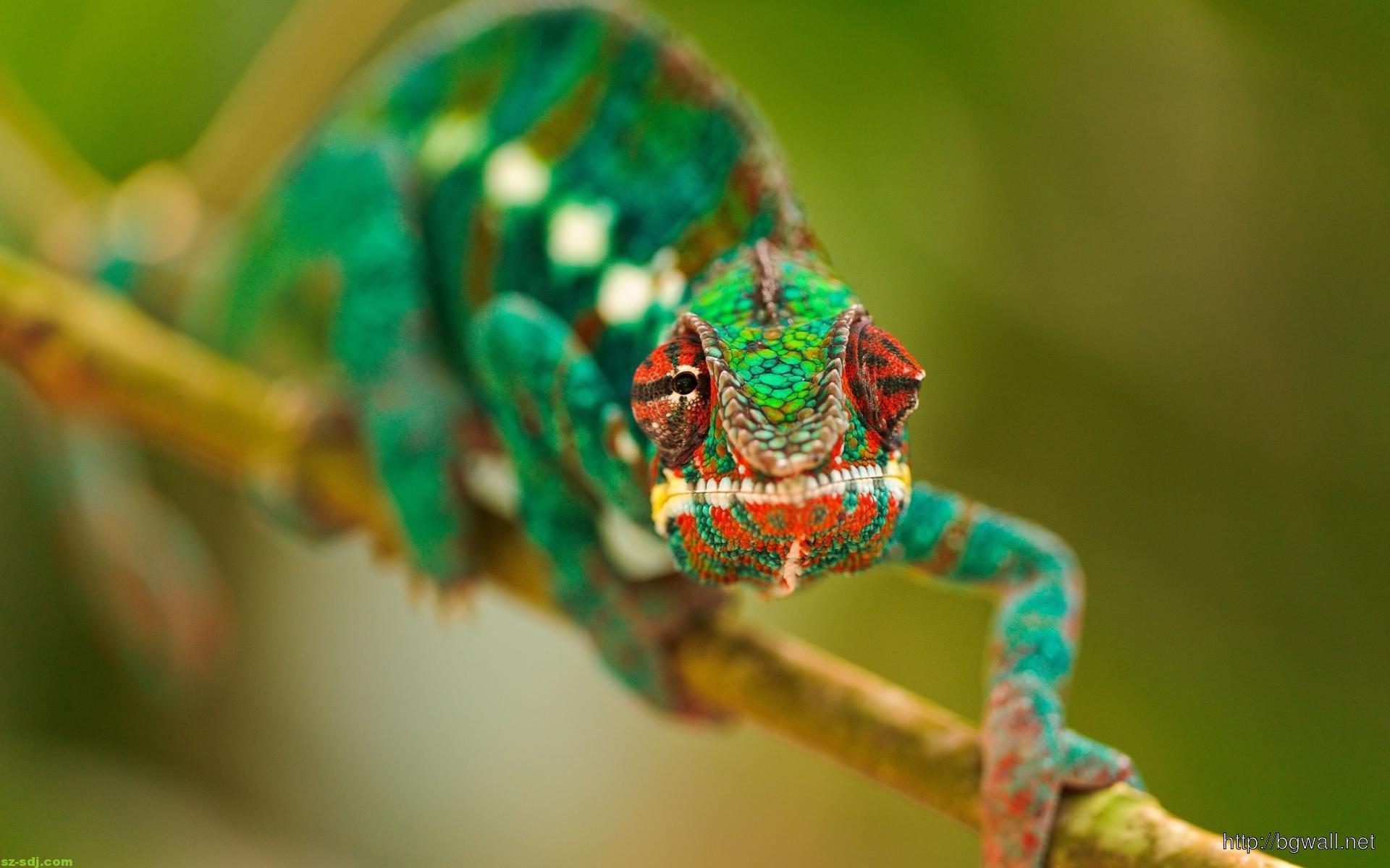 cute chameleon wallpaper for mobile  background wallpaper hd