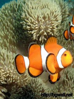 cute-clown-fish-wallpaper-image
