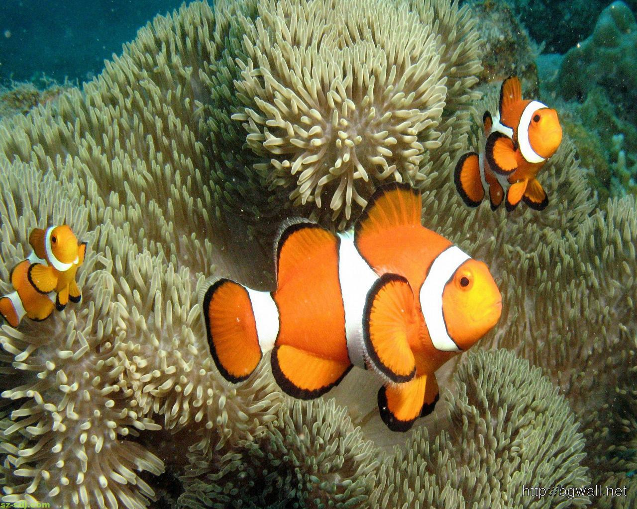 Cute Clown Fish Wallpaper Image Background Wallpaper Hd