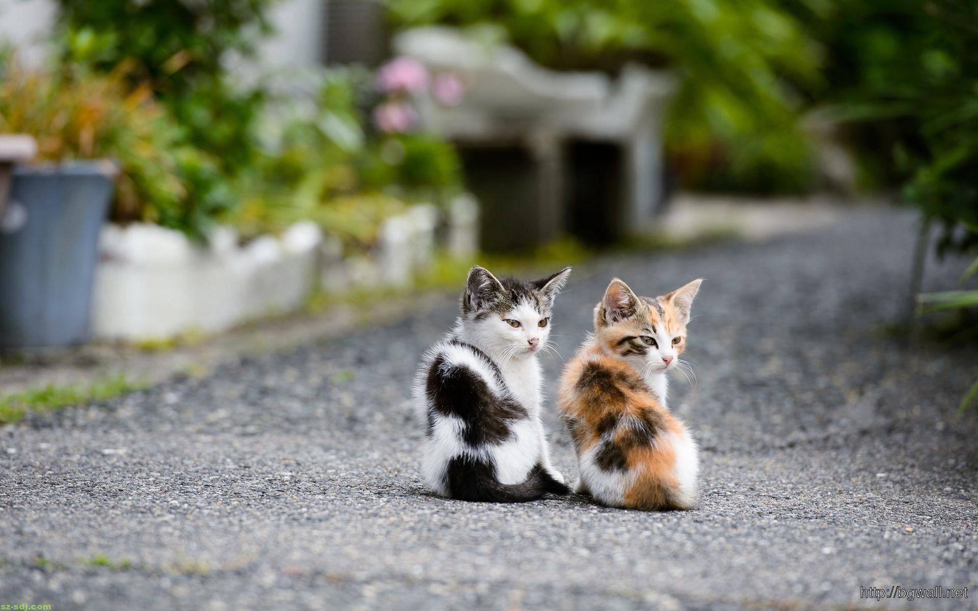 Cute Couple Kitten Cat Wallpaper Widescreen Hd ...