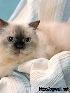 cute-himalayan-cat-ready-to-sleep-wallpaper