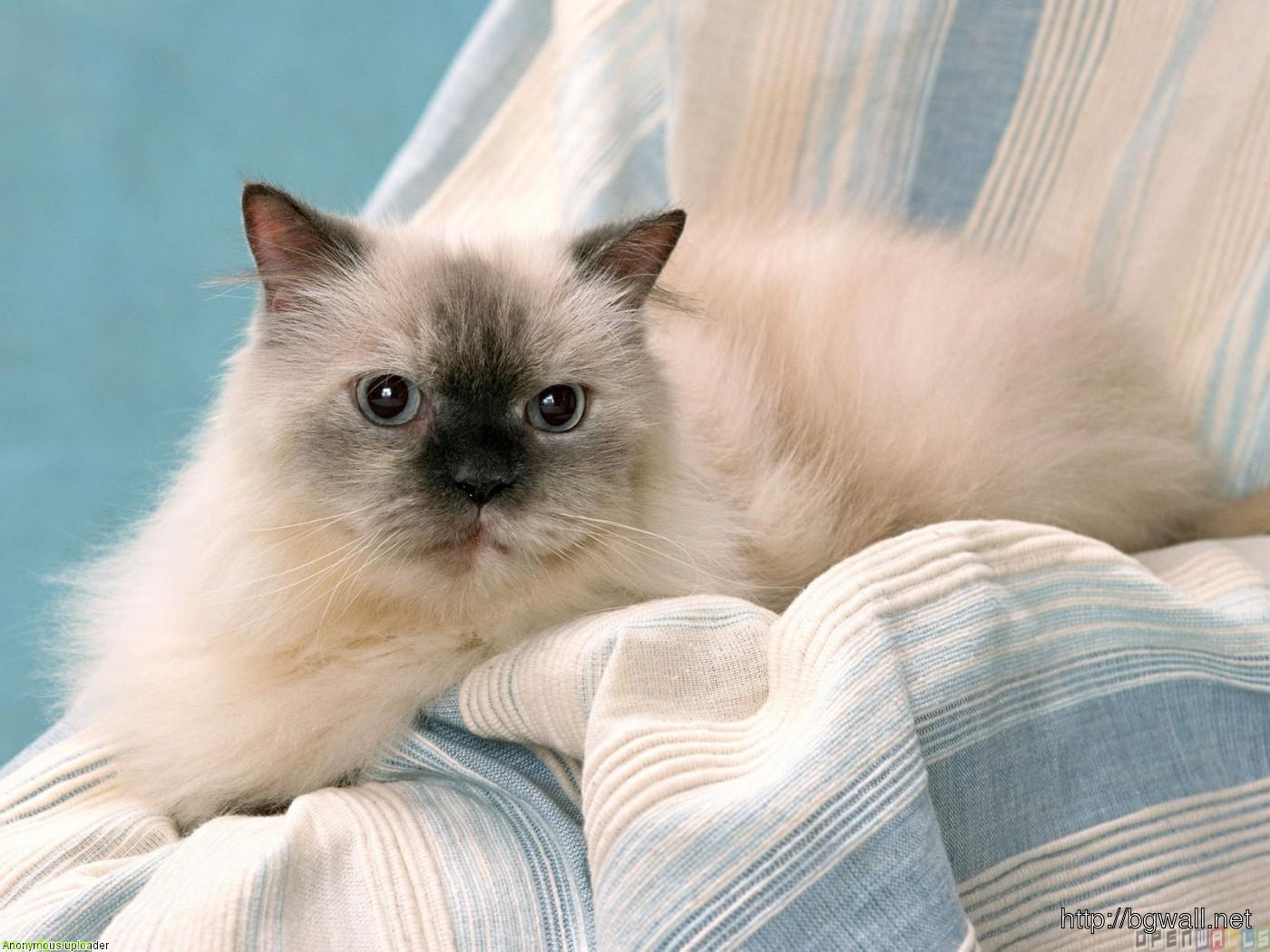 Cute Himalayan Cat Ready To Sleep Wallpaper