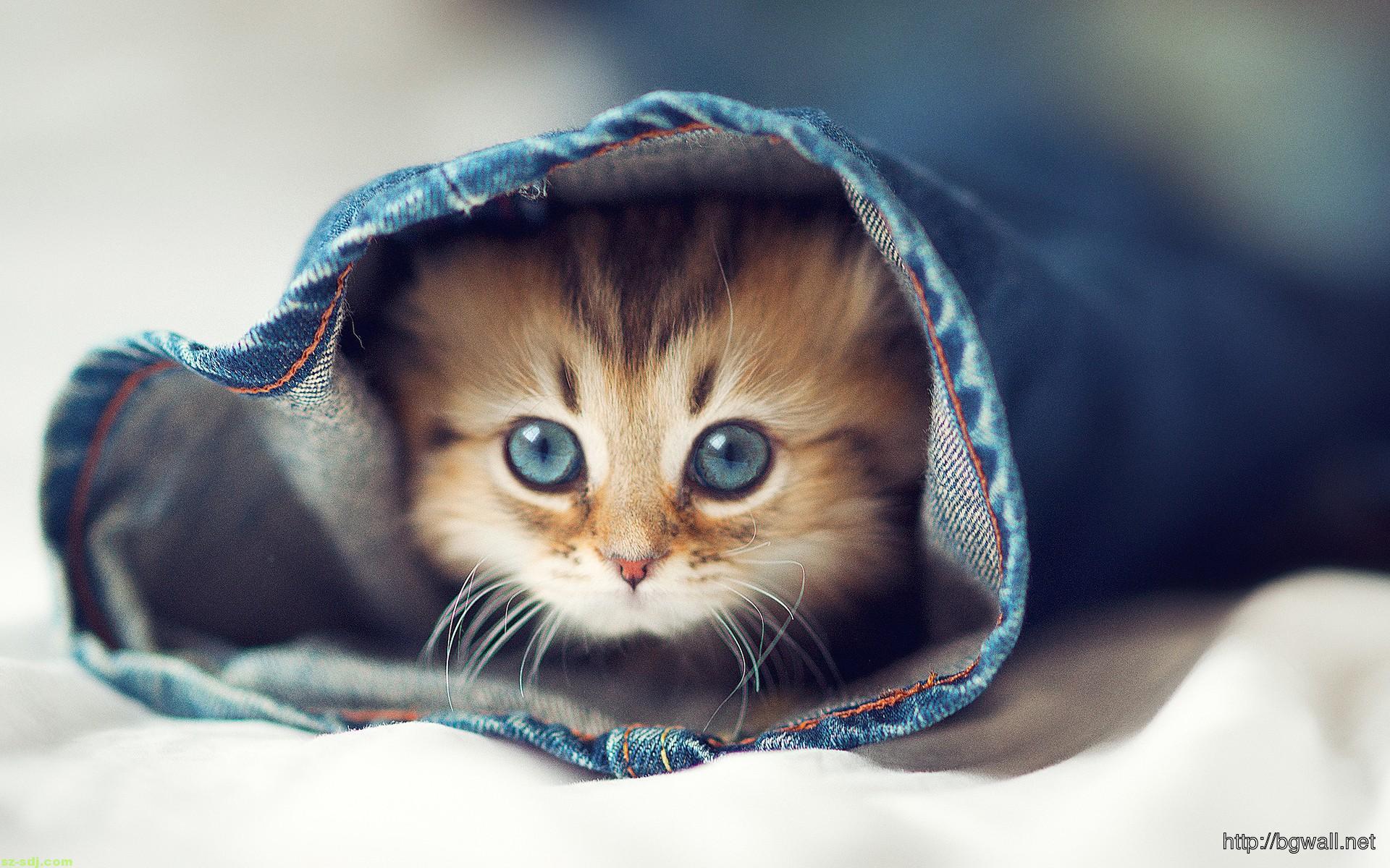 Cute Kitten Hd Wallpaper Picture