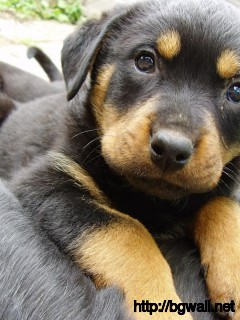 cute-rotweiler-puppies-wallpaper-pc
