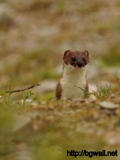 cute-stoat-macro-wallpaper