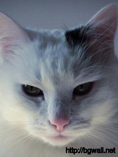 cute-white-cat-desktop-wallpaper
