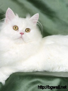 cute-white-persian-cat-wallpaper-background-hd