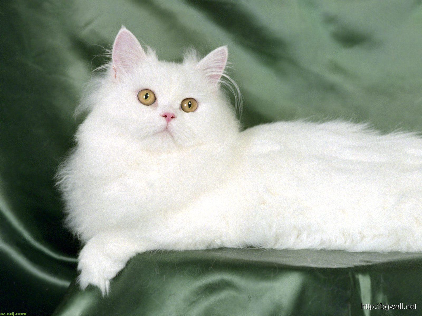 Cute Persian Cats White Cute White Persian Cat