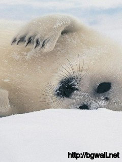 cute-white-sea-lion-wallpaper-hd