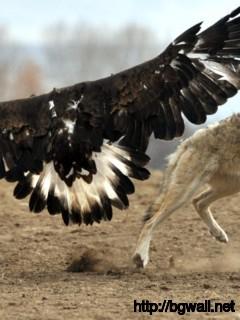 eagle-vs-wolf-animals-wallpaper