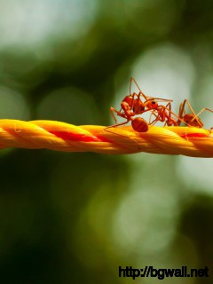 fire-ant-on-rope-wallpaper